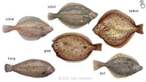 ankervissen